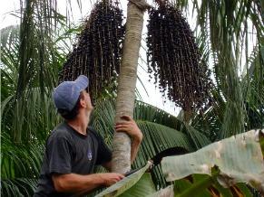 Agricultor no manejo da palmeira juçara (Foto: Divulgação / Centro Ecológico)